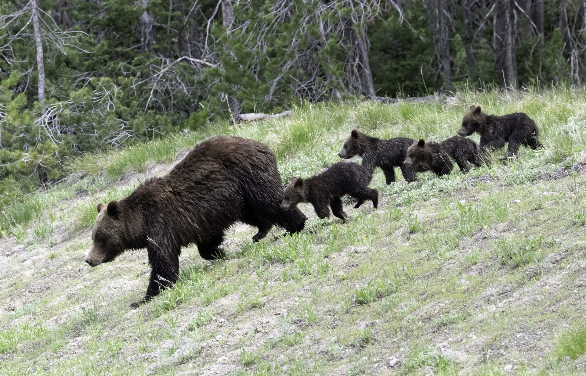 Grizzly399 and her cubs
